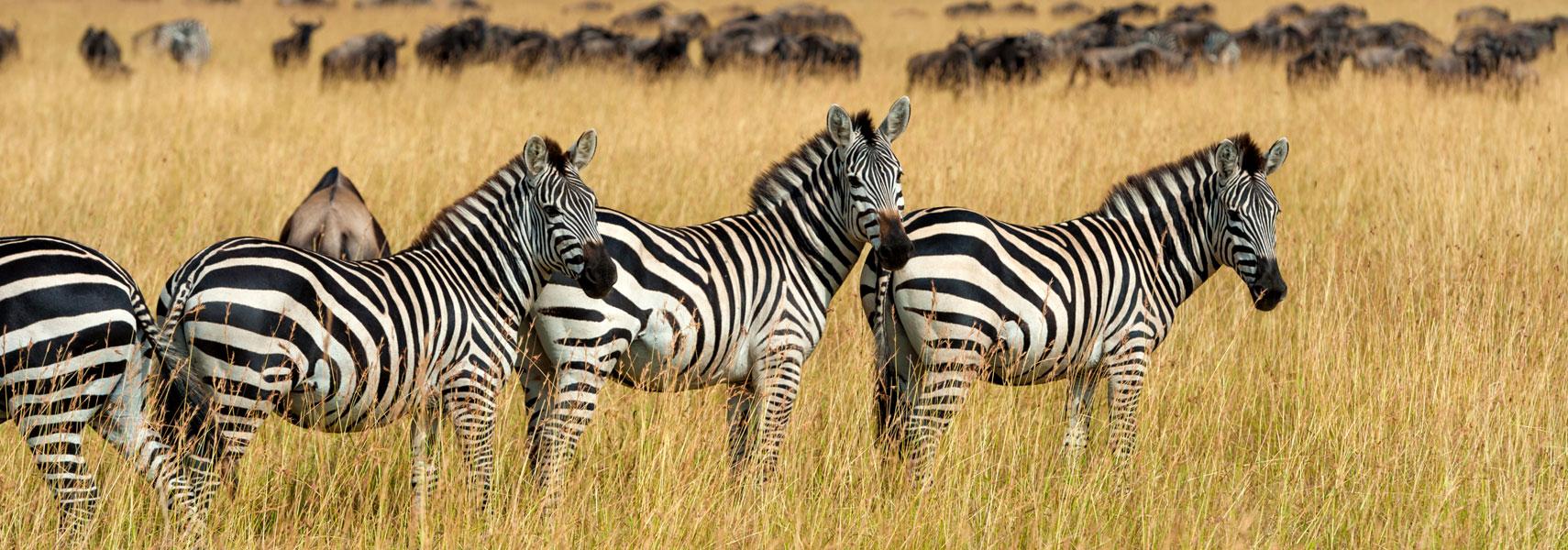 amboseli-national-park-zebra