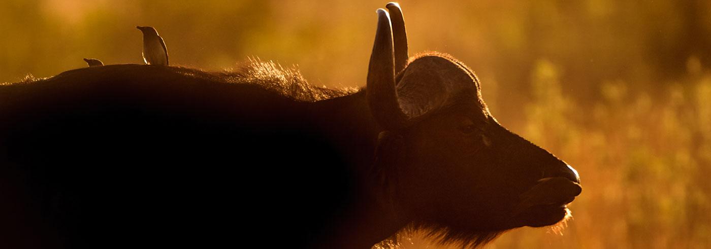 complete-south-luangwa-bufalo-africano