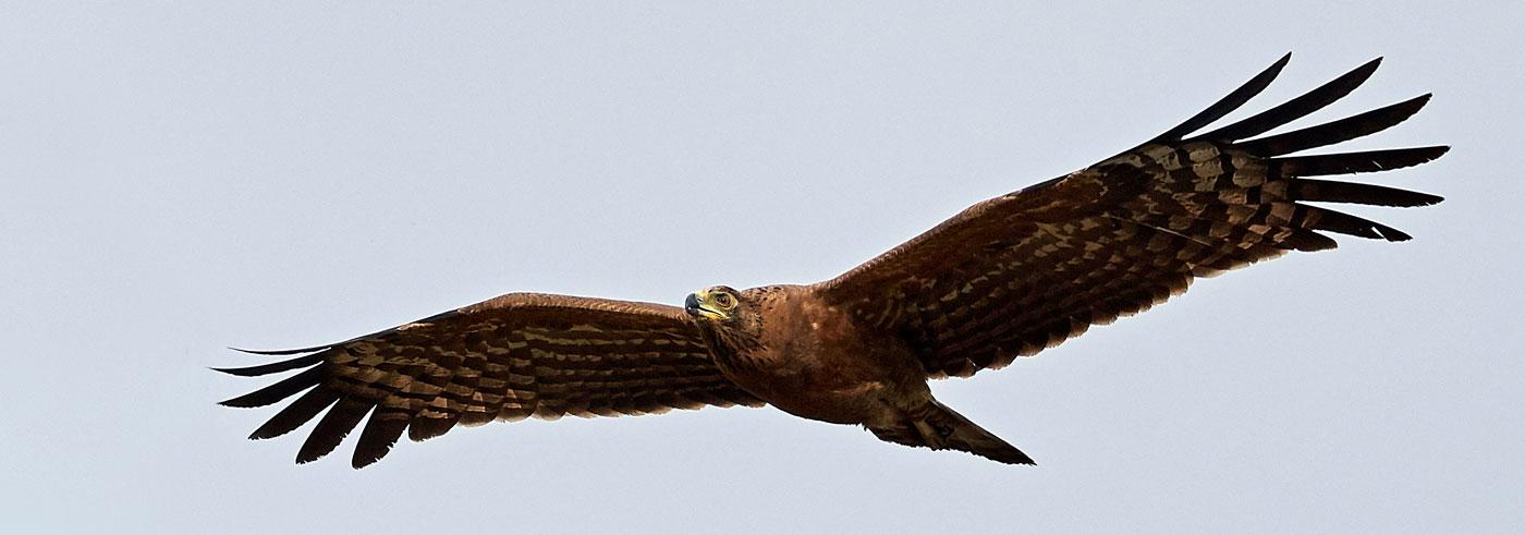 complete-south-luangwa-falco-saccheggiatore-africano