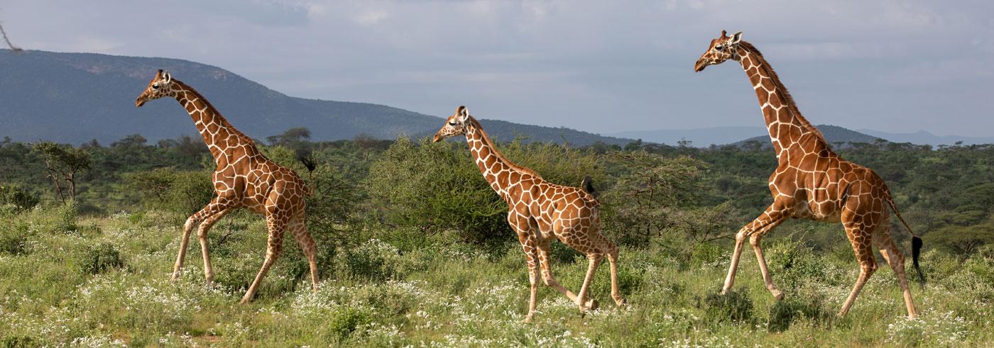 emozioni-nel-bush-famiglia-di-giraffe