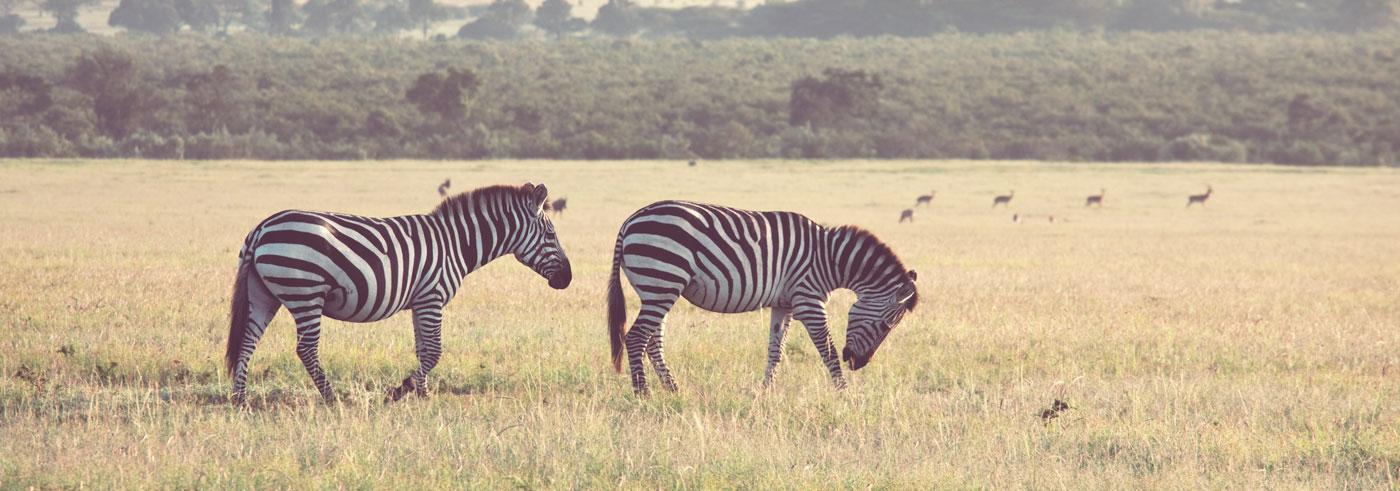 emozioni-nel-bush-zebre-in-amore