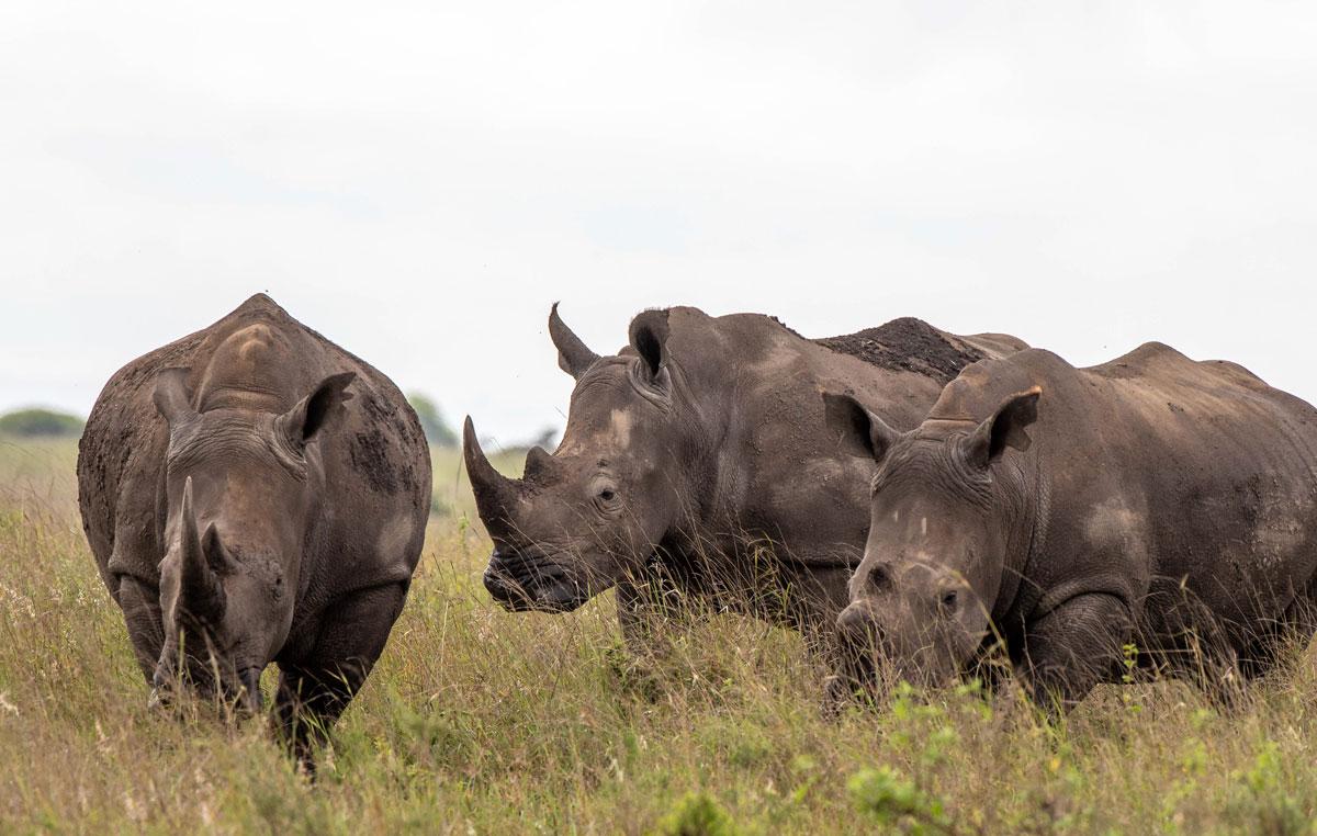 goma-safari-rinoceronti-neri