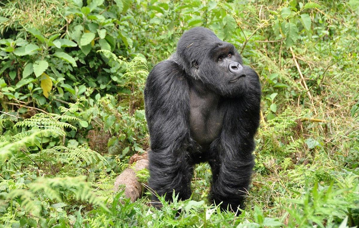 gorilla-trekking-gorilla-giungla
