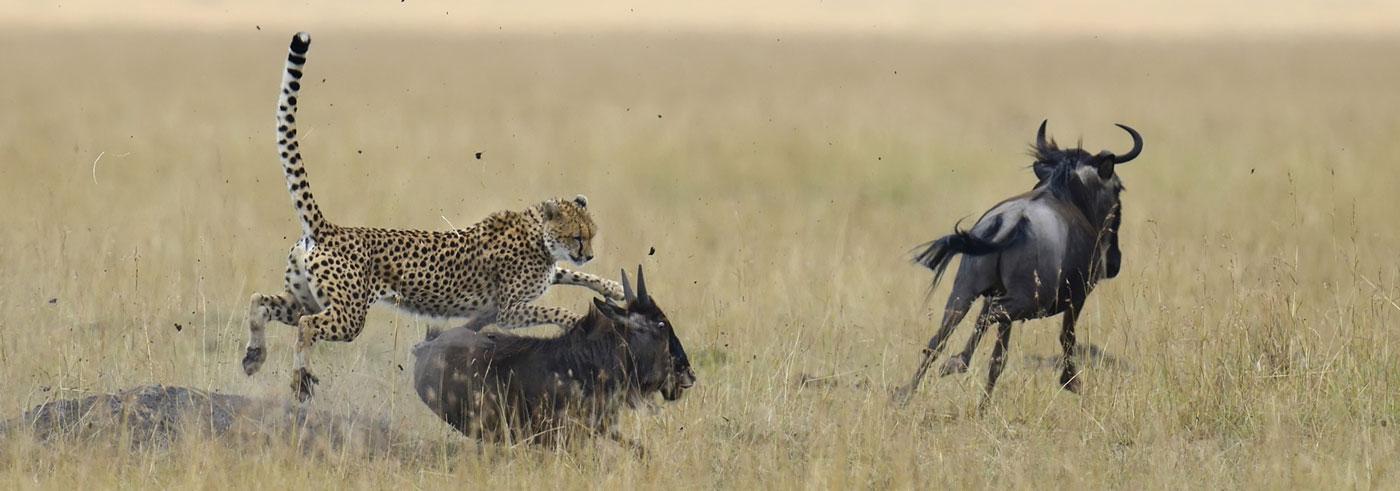 lower-zambezi-south-luangwa-ghepardo-a-caccia