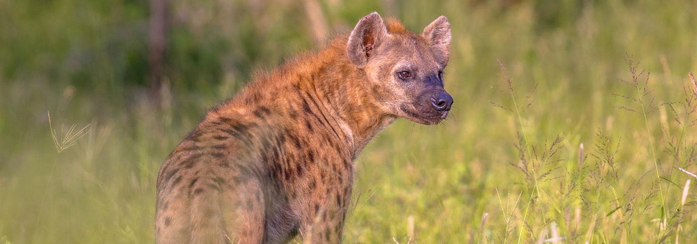 lower-zambezi-south-luangwa-iena-maculata