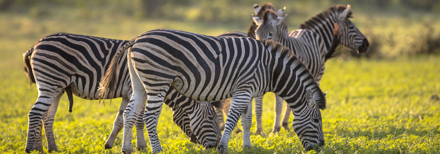 lower-zambezi-south-luangwa-mandria-di-zebre