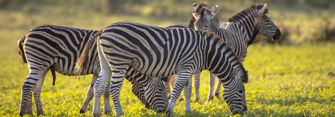 lower-zambezi-south-luangwa-mandria-di-zebre