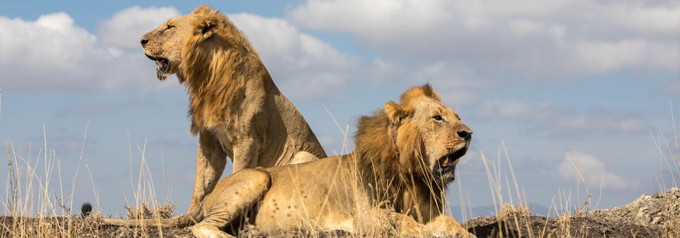 lower-zambia-leoni-adulti