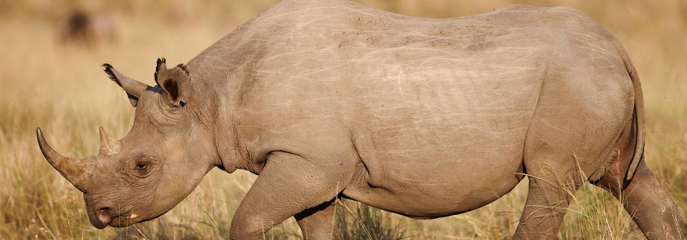 lower-zambia-rinoceronte-nero-africano