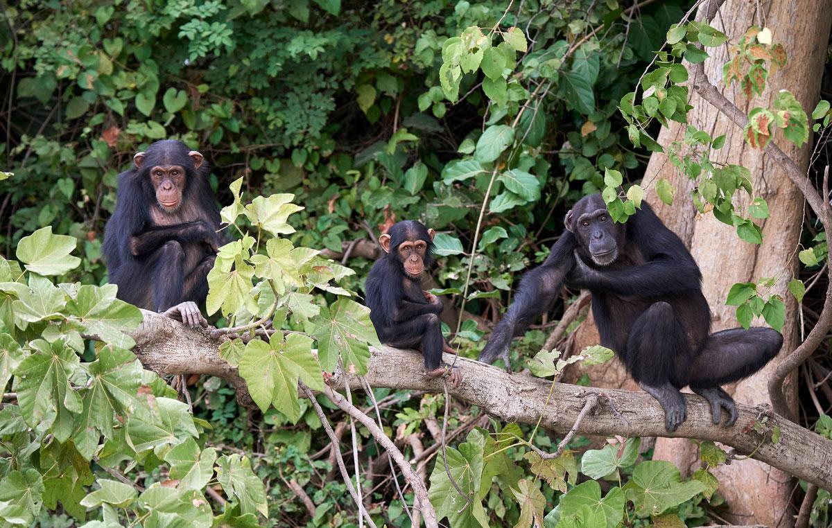 montagne-della-luna-famiglia-di-scimpanze-foresta-di-budongo