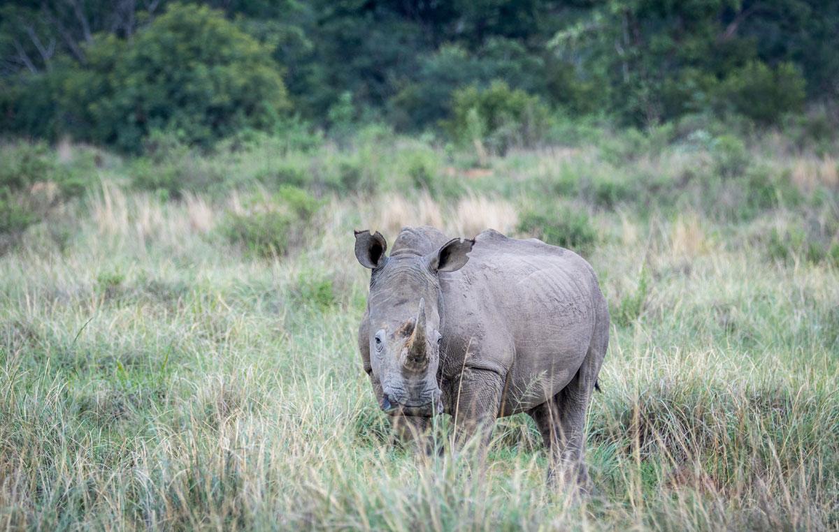 montagne-della-luna-rinoceronte-bianco