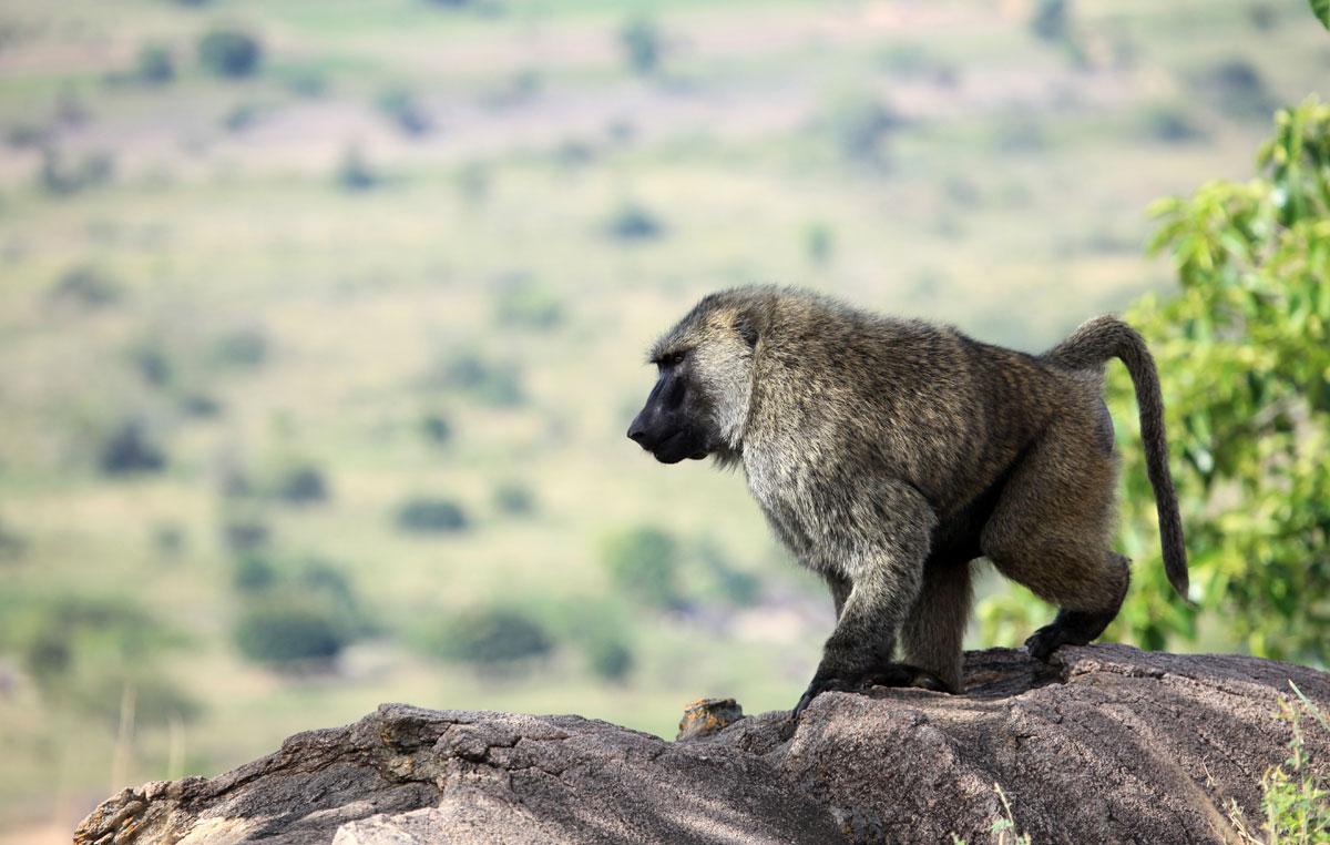 scimpanze&gorilla-trekking-babbuino
