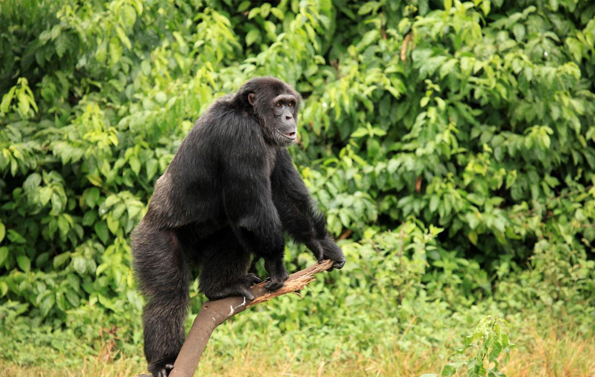 scimpanze&gorilla-trekking-scimpanze-foresta-di-kibale