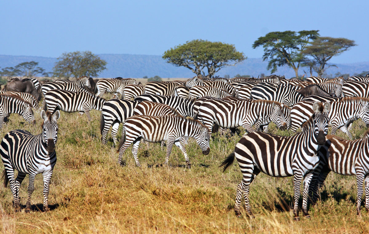 tamasengo-safari-branco-di-zebre