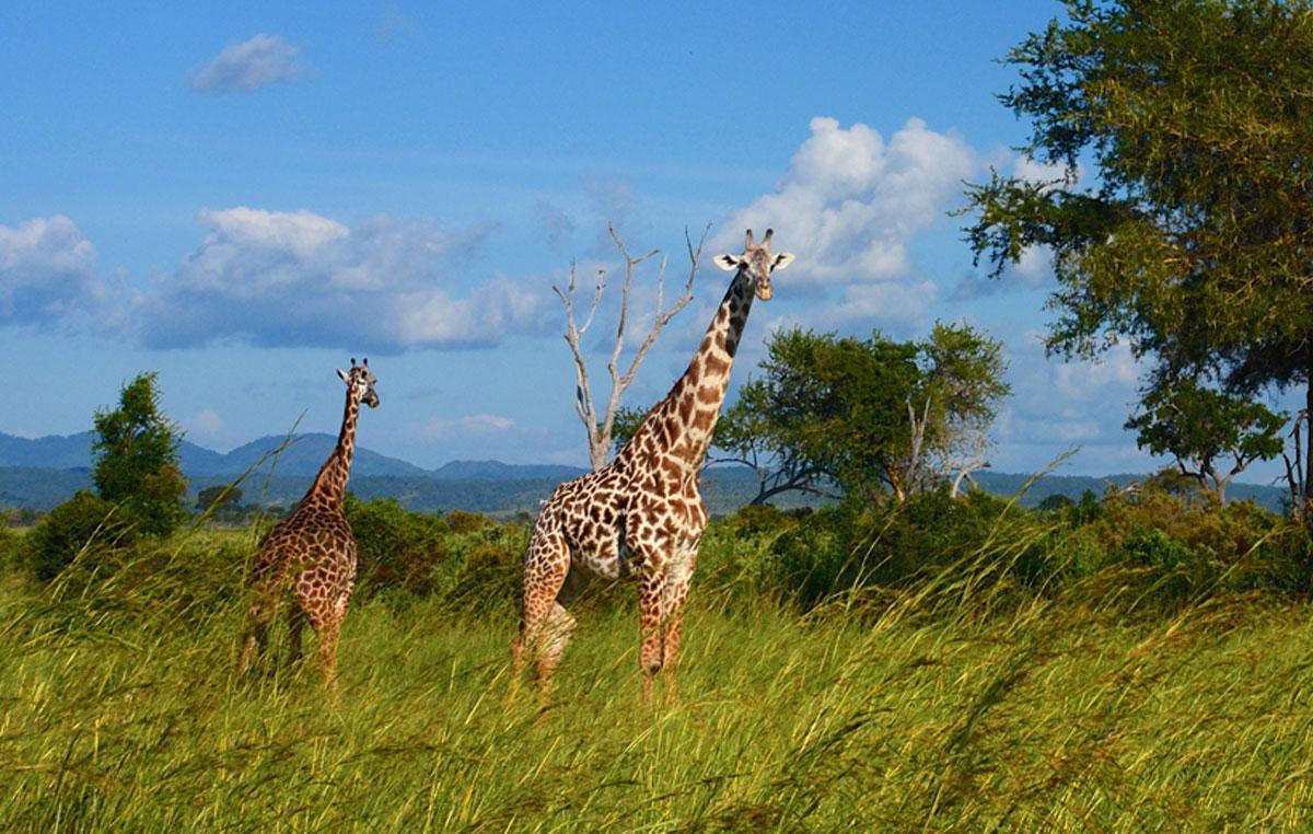 tamasengo-safari-giraffe