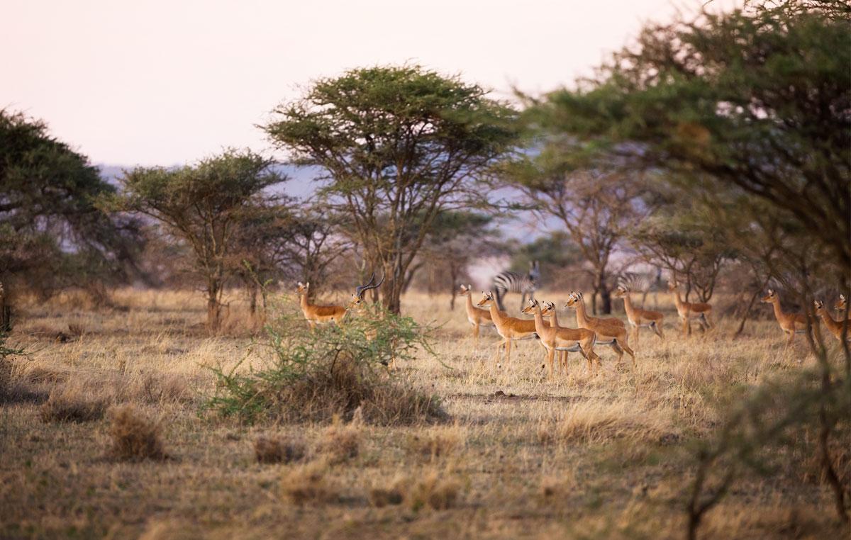 tasengo-safari-gazzelle-serengeti