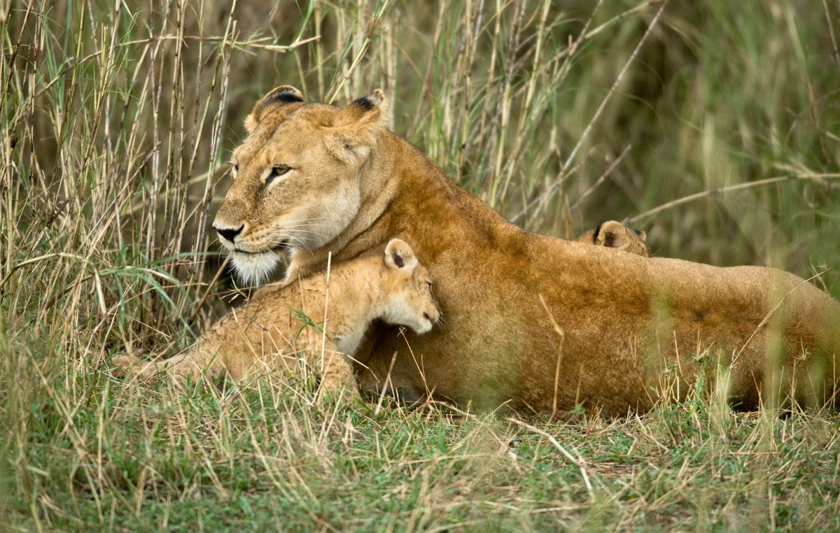 tasengo-safari-leonessa-con-cucciolo